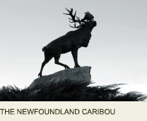 THE NEWFOUNDLAND CARIBOU Somme France